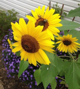 iFred Sunflowers